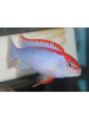 Продавам Malawi Cichlids Pseudotropheus Ndumbi Red Top  - Малави цихлида - 5 - 7 см.