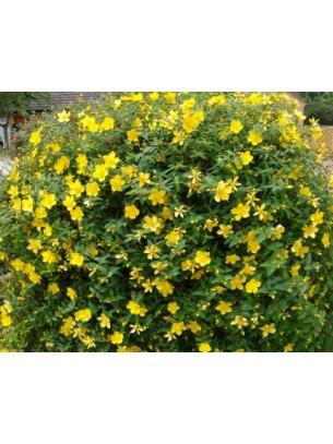 Hypericum hidcote - хиперикум жълт - 0.15 - 0.3 м.