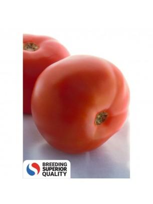 Домати - Биг Бийф F1 - Професионални семена на домати - 500 бр. Семена