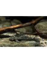 Продавам L 257 Pseudolithoxus tigris - дънен сом чистач - 4 - 5 см.