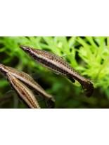 Продавам Наностомус Еквес - Nannostomus beckfordi - 3-4 см.