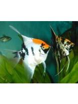 Продавам Скалария - Pterophyllum Angelfish tricolor- 3-4 см. - трицветна