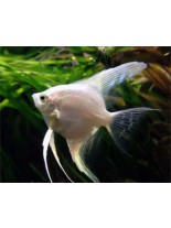 Продавам Скалария - Pterophyllum Angelfish White- 3-4 см. - бяла