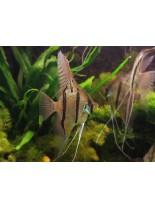 Продавам Скалария - Pterophyllum Angelfish Peru Altum - 3-4 см. - воална