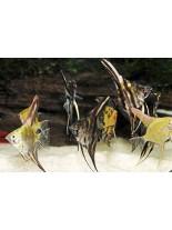 Продавам Скалария - Pterophyllum Angelfish mix- 3-4 см. - черна, бяла, шарена и др.