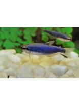 Продавам Tetra - Inpaichthys kerri super blue - 2.5 - 3 см.