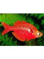 Продавам Rainbow fish – Glossolepis incisus - Red rainbow  - 3 -4 см.