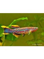 Продавам - Killifish Aphyosemion gardneri - кили рибка - 3 -4 см.