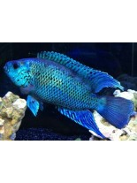 Продавам American Cichlids Jack Dempsy Electric Blue - Американски цихлиди - 3-3.5 см.
