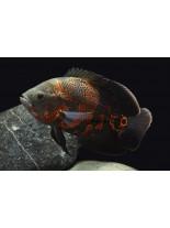 Продавам American Cichlids Astronotus ocellatus - mix color - Американски цихлиди - 4-5 см.