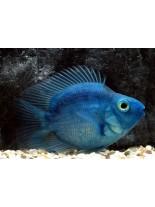 Продавам American Cichlids Amphilophus citrinellus x Paraneetroplus synspilus - Blue parrot  - Син папагал - 7-8 см.