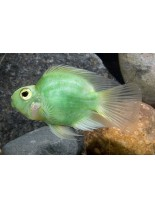 Продавам American Cichlids Amphilophus citrinellus x Paraneetroplus synspilus - Green parrot  - Зелен папагал - 7-8 см.