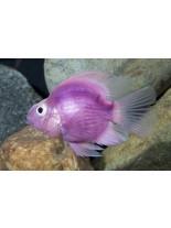 Продавам American Cichlids Amphilophus citrinellus x Paraneetroplus synspilus - Purple parrot  - Лилав папагал - 7-8 см.