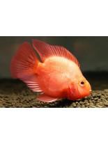 Продавам American Cichlids Amphilophus citrinellus x Paraneetroplus synspilus - Red parrot  - Червен папагал - 7-8 см.