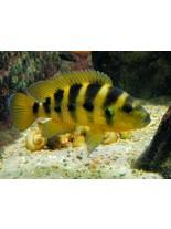 Продавам African Cichlids Neolamprologus sexfasciatus gold  - Африканска цихлида - 3-4.5 см.