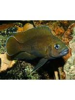 Продавам African Cichlids Variabilochromis moorii  - Африканска цихлида - 8-9 см.