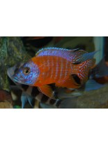 Продавам Malawi Cichlids Aulonocara german red  - Малави цихлида - 4-5 см.