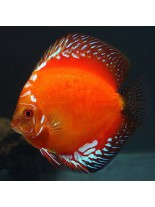 Продавам Discus Red Melon  - Дискус - 7-9 см.