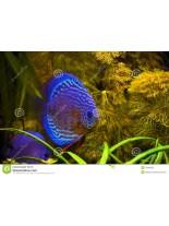 Продавам Discus Turquoise Blue Neon - Дискус - 6-7 см.