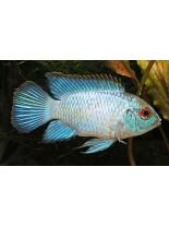Продавам American Dwarf Cichlids Electric Blue Acara - американска цихлида - 3-4 см.