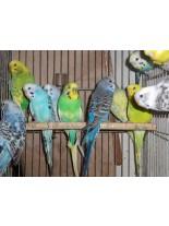 Продавам Вълнисти папагали