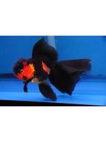 Продавам златни рибки red black oranda - 5-7 см