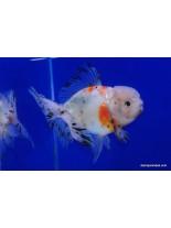 Продавам златни рибки calico oranda - 5-7 см