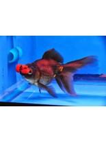 Продавам златни рибки mix oranda with red pompon - 5-7 см