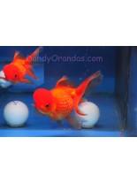 Продавам златни рибки - шишарка - assorted crown pearlscale - 5-7 см