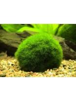 Декоративно водно растение - Giant Marimo Ball Moss - 3 - 6 см.
