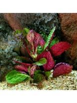 Декоративно водно растение - Hemigraphis colorata (grof) - 5 - 10 см.
