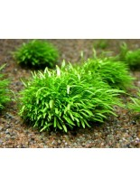 Декоративно водно растение - Utricularia graminifolia - 5 - 10 см.