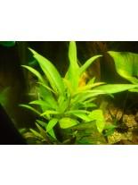 Декоративно водно растение - Hygrophila salicifolia - 10 - 15 см.