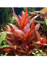 Декоративно водно растение - Alternanthera reinickii - 5 - 10 см.