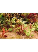 Декоративно водно растение - Alternanthera Bettzickiana red - 8 - 15 см.