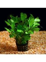 Декоративно водно растение - Shinnersia green - 5 - 8 см.