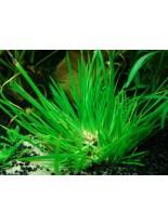 Декоративно водно растение - Acorus pusillus - 5 - 10 см.