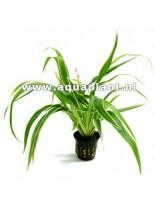Декоративно водно растение - Chlorophytum bichetii - 14 - 18 см.