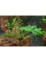 Декоративно водно растение - Bolbitis heteroclita difformis - 6 - 12 см.