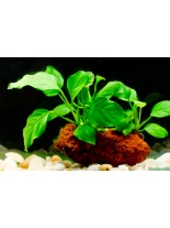 Декоративно водно растение - Anubias nana - 5 - 8 см.