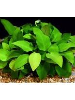 Декоративно водно растение - Anubias nana big - 8 - 10 см.