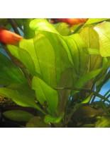 Декоративно водно растение - Echinodorus  Devils Eye - 8 - 12 см.