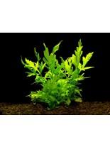 Декоративно водно растение - Ceratopteris cornuta (Grof) - 14 - 18 см.