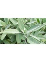 Салвия/ Salvia officinalis