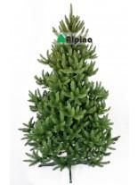 Коледна елха Alpina Див Смърч - 120 см.