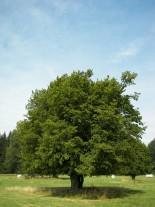 Carpinus betulus - обикновен габър - 100 - 120 см.