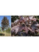 Acer platanoides 'Faassen`s Black' - Явор (клен) - 200 - 225 см.