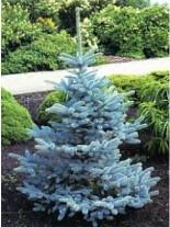 Picea glauca 'Koster'  - Сребрист Смърч - 70 - 90 см.