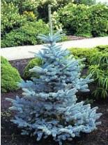 Picea glauca 'Koster'  - Сребрист Смърч - 100 - 125 см.