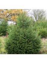Picea abies - Европейски смърч - 125 - 150 см.